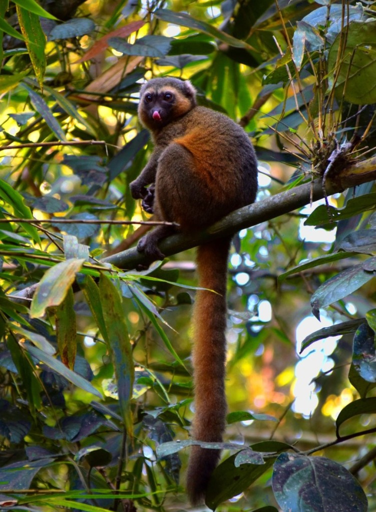 Golden Bambus Lemur Madagaskar