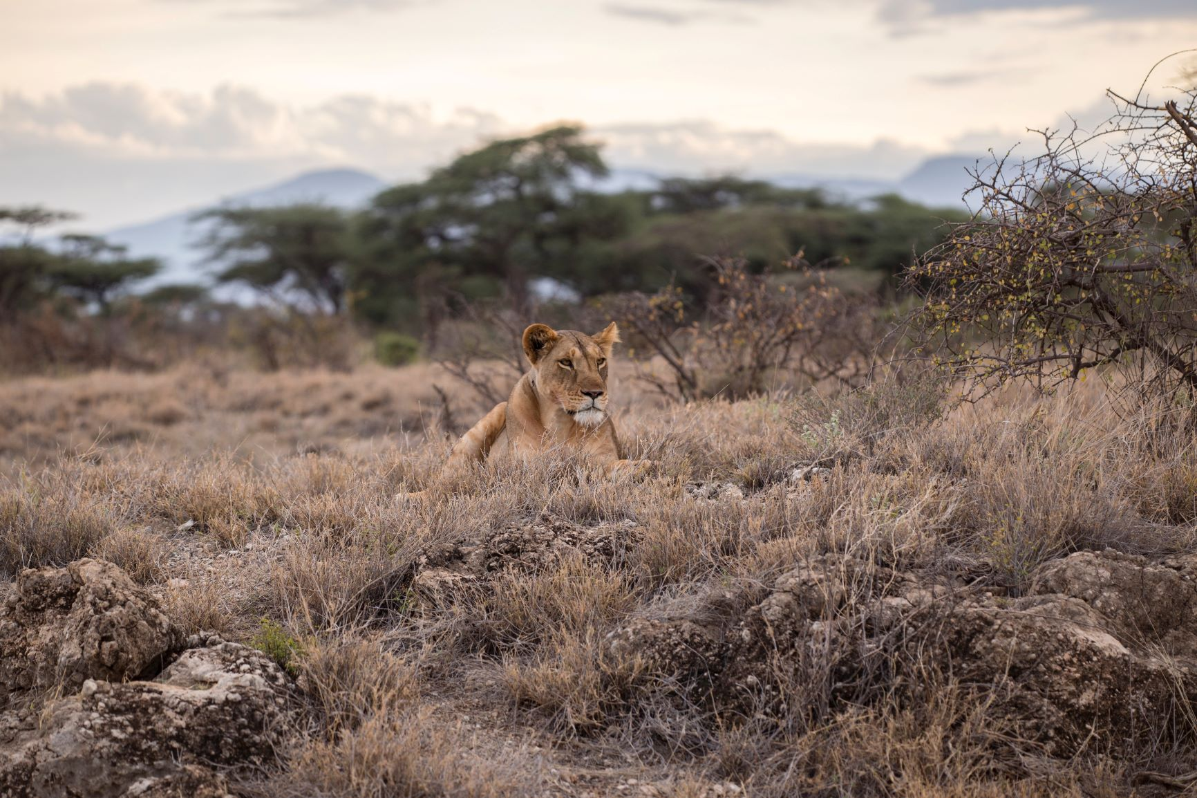 Löwendame